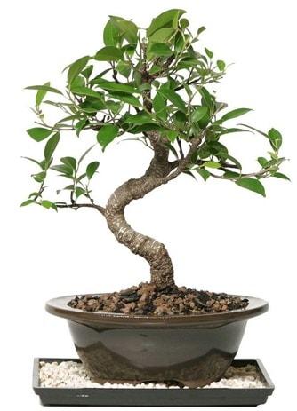 Altın kalite Ficus S bonsai  Tunceli güvenli kaliteli hızlı çiçek  Süper Kalite
