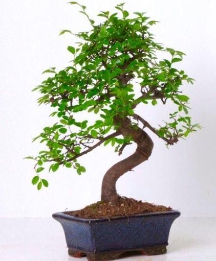 S gövdeli bonsai minyatür ağaç japon ağacı  Tunceli çiçek servisi , çiçekçi adresleri