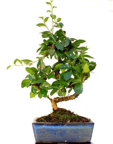 S gövdeli carmina bonsai ağacı  Tunceli çiçek mağazası , çiçekçi adresleri  Minyatür ağaç