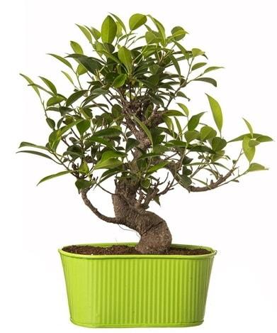 Ficus S gövdeli muhteşem bonsai  Tunceli çiçek yolla