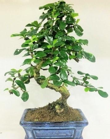 Zelkova S gövdeli Minyatür ağaç Bonzai  Tunceli kaliteli taze ve ucuz çiçekler