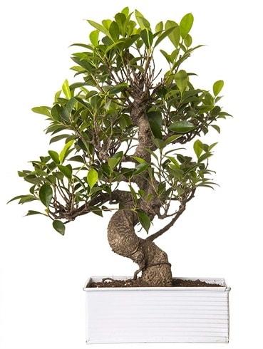 Exotic Green S Gövde 6 Year Ficus Bonsai  Tunceli çiçek servisi , çiçekçi adresleri