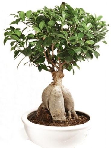 Ginseng bonsai japon ağacı ficus ginseng  Tunceli çiçek online çiçek siparişi