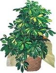 Tunceli çiçek satışı  Schefflera gold